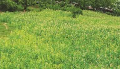 ISAAA هشدار داده که گسترش بذرهای تقلبی ذرت Bt میتواند طول عمر و راندمان اين فناوري را به خطر بیندازد، تولید ذرت زرد و درآمد کشاورزان فيليپينی کاهش دهد.