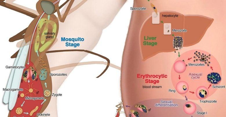 محققان موسسه ملی بهداشت فرایندی را که منجر به انتشار انگلهای مالاریا از گلبولهای قرمز خون میشوند، شناسایی و راهکاری جدید برای درمان مالاریا معرفی کردند.