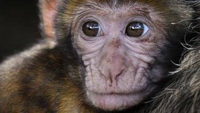 Photo of موفقیت در ترمیم قلب میمونها با سلول های بنیادی