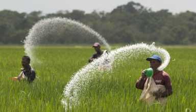 گیاهان همواره برای رشد و افزایش عملکرد به عناصری همچون نیتروژن نیاز دارند، اما استفاده از کودهای شیمیایی باعث آسیبهای زیستمحیطی و انسانی میشود. محققان یک باکتری برای تامین نیتروژن گیاه شناسایی کردهاند.
