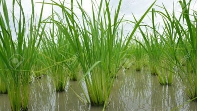 Photo of شناسایی ژن دخیل در کسب مقاومت برنج به تنش غرقابی