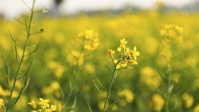 محققان موسسه Bose، با بیان این ژن در این گیاه، خردل هندی تراریخته تولید و مقاومت آن نسبت به شته را مورد بررسی قرار دادند.