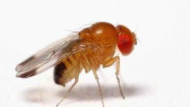 Photo of کشتن مگسهای نر توسط باکتریهای همزیست