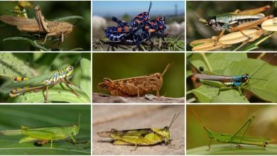 Photo of Rise Of The Grasshoppers: New Analysis Redraws Evolutionary Tree For Major Insect Family
