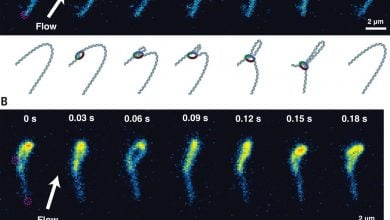 Photo of Condensin Folds DNA Through Loop Extrusion