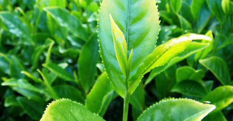 tea leaves destroy cancer