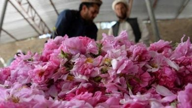 Photo of Guns and roses: Afghan farmers enjoy sweet smell of success