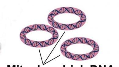 Photo of مسیر سیگنالینگ میتوکندری به DNA