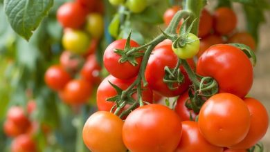 Photo of SCIENTISTS DISCOVER THE ROLE OF ISOPENTENYLTRANSFERASE IN LYCOPENE SYNTHESIS IN TOMATO