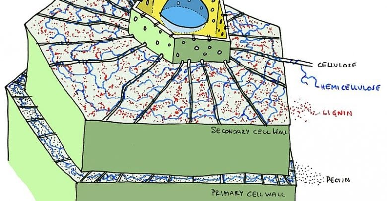SECONDARY CELL WALLS IN RICE - اخبار زیست فن