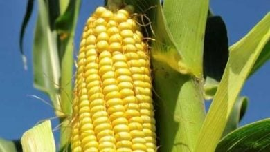 Photo of EUROPEAN AND FRENCH STUDIES DISPROVE SERALINI'S GM MAIZE CLAIMS