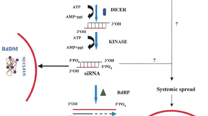 kinase activation