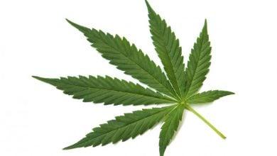 Photo of CBD: Medicine from marijuana