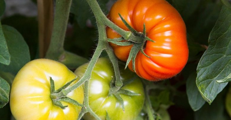 سنتز لیکوپن در گوجهفرنگی