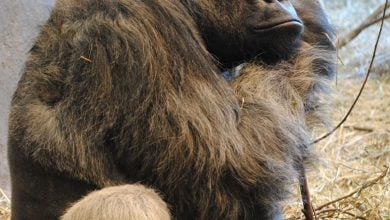 Photo of Improved ape genome assemblies provide new insights into human evolution