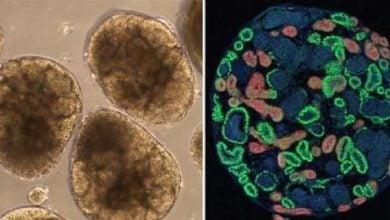 تولید بافت کلیه با سلولهایiPS