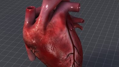 Photo of A 3-D model of a human heart ventricle