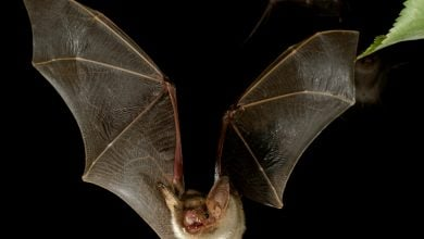 Photo of Bats may have co-opted viral proteins produced by Ebola for immune function