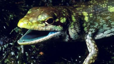 Photo of Lizards' Green Blood Evolved Four Times