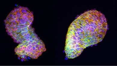 Photo of Polarized cells give the heart its fully developed form