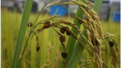 Photo of ویرایش ژنتیکی قارچ سیاهک پنهان برنج با استفاده از روش CRISPR