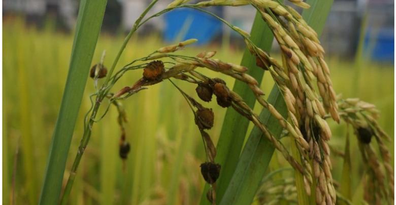 ویرایش ژنتیکی قارچ سیاهک پنهان برنج