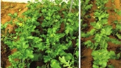 Photo of Scientists develop early flowering transgenic mustard