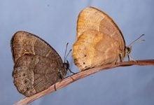 این عکس دو نمونه از پروانه آفریقایی Bicyclus annana، تایپ وحشی سمت چپ و پروانه با جهش در مسیر ملانین در سمت راست، نشان میدهد.