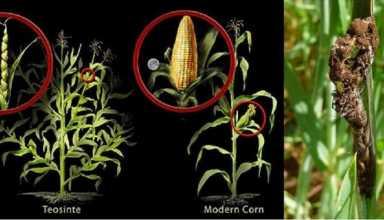 جلوگیری از دسترسی اوومیستها به سیستم تغذیه ای گیاه میتواند از تکثیر و رشد این بیمارگرها ممانعت کند