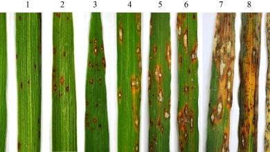 Photo of کشف ژن Ptr، ژن مقاومت در برابر بیماری بلاست برنج