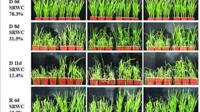 مثال افزایش بیان عامل رونویسی TaWRKY2 میزان زیستتوده و محصول بذری را تحت تنش خشکی در گندم افزایش داد.