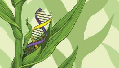 نوکلئاز Cas9 دارای کارایی و اختصاصیت بالایی نسبت به Cas12a در ویرایش ژنوم ذرت دارد.