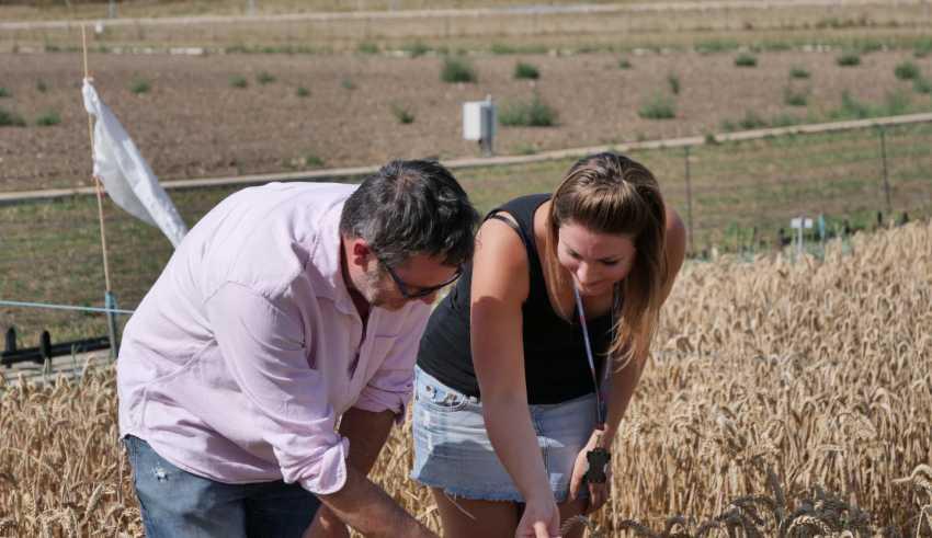 بررسیها نشان میدهند تغییرات اپی ژنتیکی در سازگاری گندم به شرایط آب و هوایی نقش مهمی دارند. یکی از اهداف دانشمندان معرفی این تغییرات به عنوان ابزاری بالقوه و جدید برای تولید محصولات سازگار به شرایط زیست محیطی مختلف است.