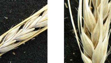 Barley heads east - اخبار زیست فن