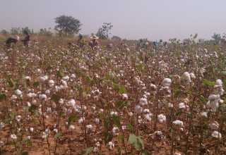 Bt cotton following its approval - اخبار زیست فن