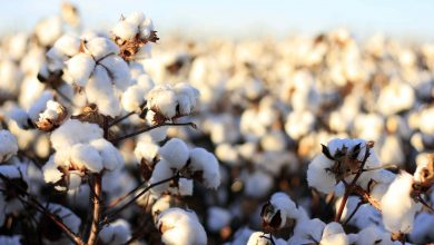 Photo of EPIGENETIC BASIS OF HIGH REGENERATION ABILITY OF AN ELITE COTTON GENOTYPE JIN668