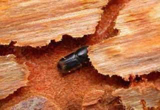 تفاوتهای ژنتیکی در درختان کاج توسط سوسکهای پوست خوار کاج مشخص میشود.