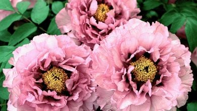 Photo of PsFAD3 GENE INVOLVED IN ALA ACCUMULATION IN TREE PEONIES