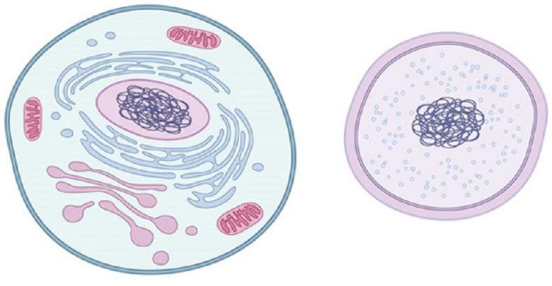 چرخهی سلولی