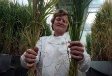 gene-edited crops - اخبار زیست فن
