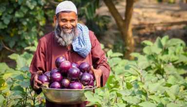 insect resistant Bt eggplant - اخبار زیست فن