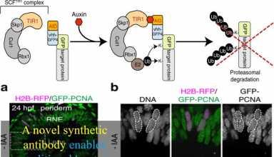 حذف پروتئین در مهره داران به کمک آنتی بادی سنتتیک