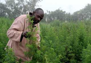 در کشور اوگاندا گونههای گیاهی متنوعی وجود دارد که ارزش بالقوه دارویی دارند. دانشمندان اوگاندایی با استفاده از این ظرفیت گیاهی، نوعی داروی گیاهی برای درمان مالاریا، سرطان پروستات و دیابت ارائه کردند.