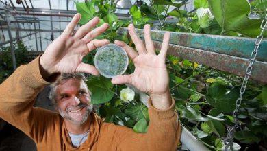 محققان دانشگاه Purdue موفق به شناسایی شبکههای تنظیمی دخیل در کنترل شکل و اندازه سلولهای گیاهی شدند.