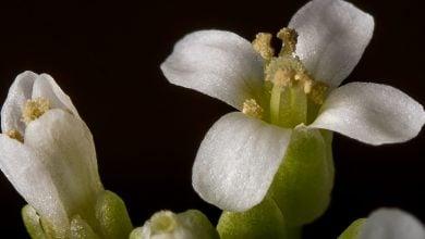 گیاهان دارای مکانیسم دفاعی پیشرفتهای هستند که در برابر حملات عوامل بیماری زا به گیاه یاری میرسانند.