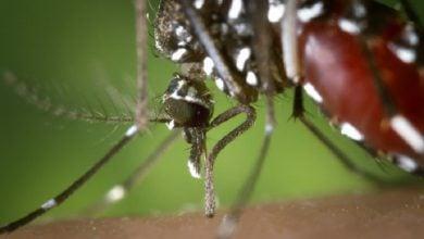 Photo of اصلاح نژاد پشهها راهکاری برای مقابله با بیماریها