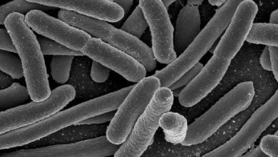 Photo of E. coli bacterium key for boosting iron absorption, new study shows