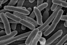 فواید باکتری E.coli برای تقویت جذب آهن