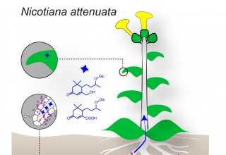 دانشمندان موفق به کشف مولکولهایی با نام blumenol بهعنوان مارکر برگی برای تشخیص کلونیزاسیون موفق قارچهاي آربوسکولار-میکوریزا در گیاهان شدند.
