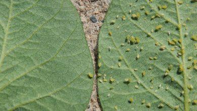 دانشمندان از منابع ژنی سویای وحشی برای تولید سویای مقاوم به شته استفاده کردند.